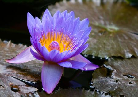 a bloom of a blue water lily - Nymphaea caerulea