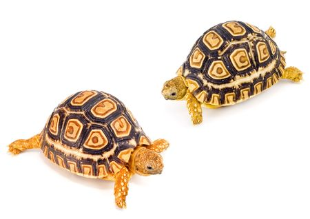 two young tortoises - Geochelone Pardalis - meeting each other Stock Photo