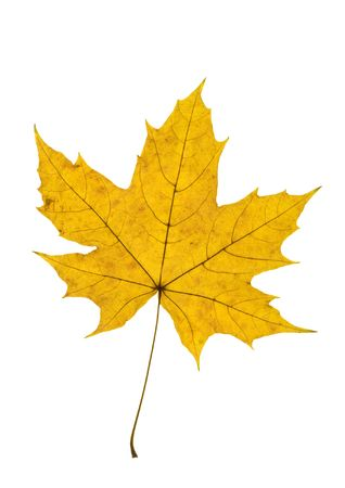 nervation: Detail of a yellow leaf blade of a maple - autumn Stock Photo