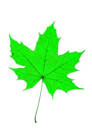 nervation: Detail of a leaf blade of a maple