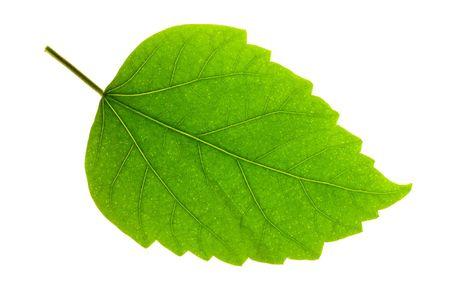 Detail eines Blattspreite eines Hibiskus Standard-Bild - 3876705