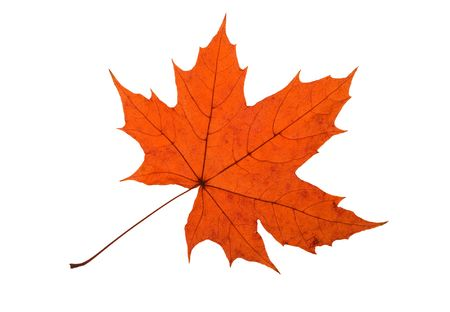 nervation: Detail of a red leaf blade of a maple - autumn