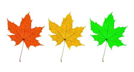 nervation: Detail of three leaves of a maple - autumn
