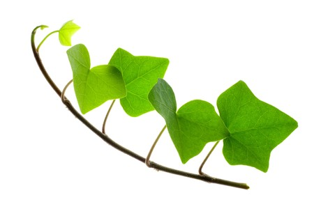 Detail of a sprig of ivy over white