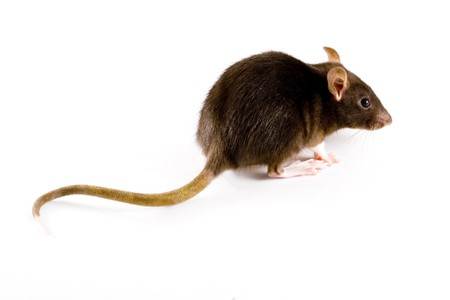 a close-up photo of a common or brown rat Stock Photo