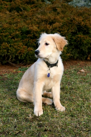 puppy of golden retriever outside on the grass