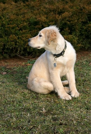 a close-up photo of puppy of golden retriever watching something