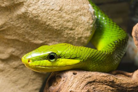herpetology: young Red Tailed Racer (Gonyosoma oxycephala) - detail of head