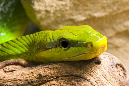 herpetology: Red Tailed Racer (Gonyosoma oxycephala) - detail of head