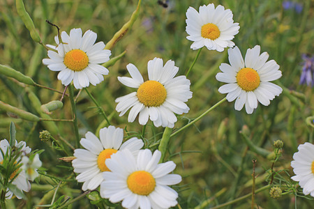 Beautiful summer chamomile flowers in a close-up field