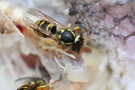 close-up of a wasp eats fish