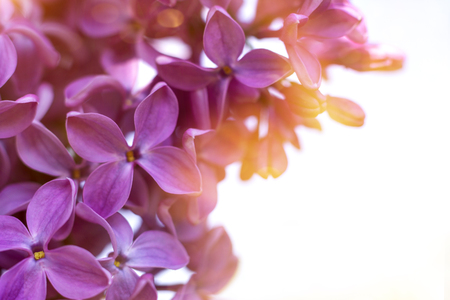 Violet lilac flowers close up on white - spring background or summer background