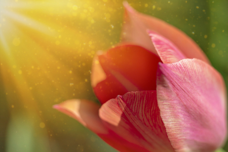 spring background or summer background Red tulip flower in the sunshine