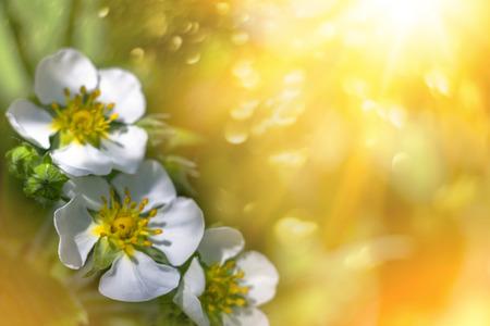 spring background - White strawberry flowers in sunshine - summer background