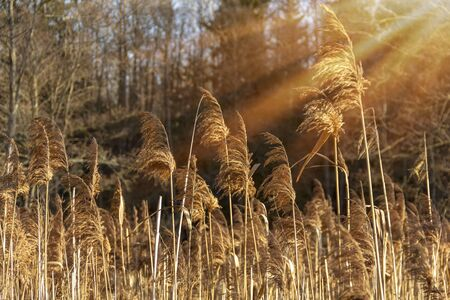 Autumn river marsh grass in rays of autumn sun - beautiful gentle natural background