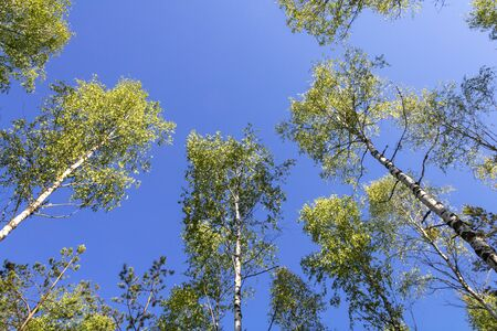 The tops of spring birch trees against a clear blue sky. View from below. Spring summer mood