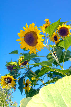Beautiful sunny bush sunflowers in a vegetable garden on a sunny day