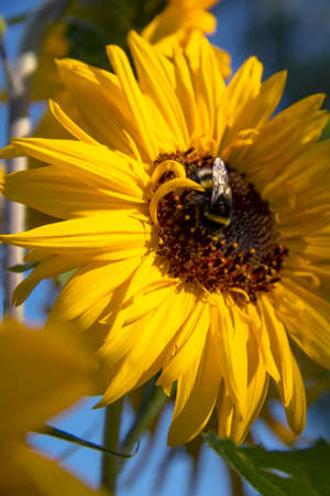 Bumblebee bee on a sunflower flower close up against the sky on a sunny day