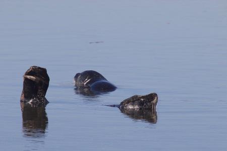 조류 염소 바위 해변, 캘리포니아 - 펠리컨, Oystercatcher, 갈매기, 인감.
