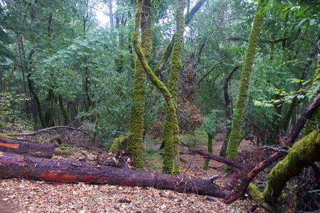 Armstrong Redwoods State Natural Reserve, California - to preserve 805 acres (326 ha) of coast redwoods (Sequoia sempervirens). The reserve is located in Sonoma County, Guerneville.