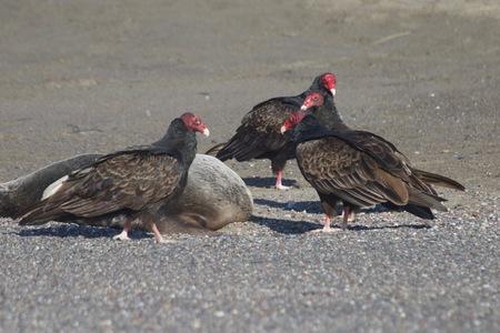 七面鳥ハゲワシと死んだアザラシの海岸 - ヤギロックビーチ北カリフォルニア 写真素材 - 92654055