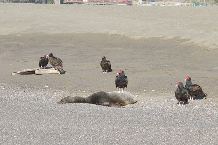 七面鳥ハゲワシと死んだアザラシの海岸 - ヤギロックビーチ北カリフォルニア 写真素材 - 92654072