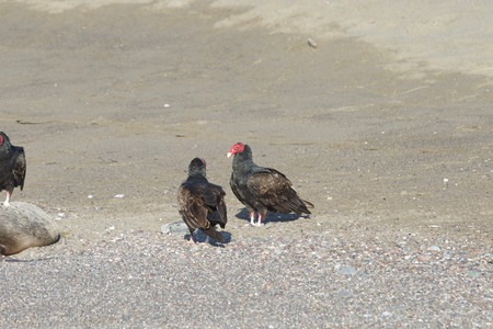 Turkey Vultures and dead seal ashore - Goat Rock Beach Northern California