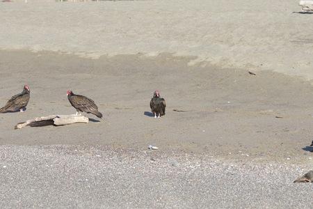 七面鳥ハゲワシと死んだアザラシの海岸 - ヤギロックビーチ北カリフォルニア 写真素材