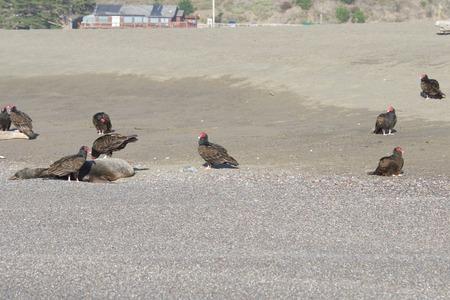 七面鳥ハゲワシと死んだアザラシの海岸 - ヤギロックビーチ北カリフォルニア 写真素材 - 92654099