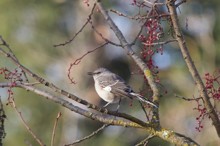 Santa Rosa, California is the largest city in California's Redwood Empire, Wine Country and the North Bay - bird Northern Mockingbird. Banco de Imagens - 93194254