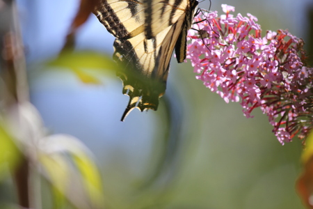Santa Rosa, California is the largest city in Californias Redwood Empire, Wine Country and the North Bay - butterfly Papilio machaon lso known as the common yellow swallowtail. Stock Photo