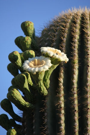 From cold, high-desert mountains in the north to subtropical desert lowlands in the south, Arizona presents a variety of discrete desert ecosystems, each providing habitat for numerous species of cacti. Cactus.