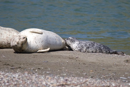 Goat Rock Beach - Sonoma County, California. Each spring a large sand spit builds up in Jenner, right at the mouth of the Russian River. Seals love hanging out at the Pacific Coast beaches. Stock Photo
