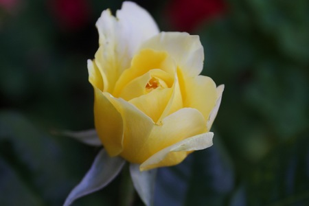 Roses - Santa Rosa, California is the largest city in Californias Redwood Empire, Wine Country and the North Bay. 版權商用圖片