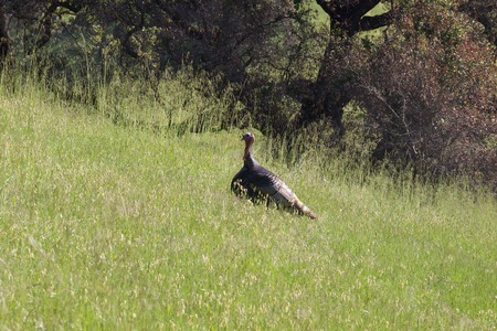 Shiloh Ranch Regional Park, California - The wild turkey (Meleagris gallopavo) is an upland ground bird native to North America and is the heaviest member of the diverse Galliformes.