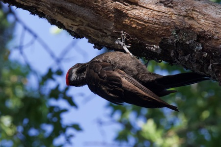 Shiloh Ranch Regional California Woodpecker.  The park includes oak woodlands, forests of mixed evergreens, ridges with sweeping views of the Santa Rosa Plain, canyons, rolling hills, a shaded creek,