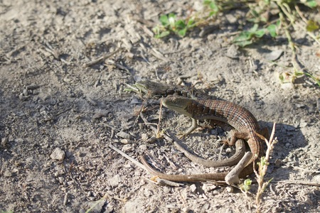Shiloh Ranch Regional California lizard.  The park includes oak woodlands, forests of mixed evergreens, ridges with sweeping views of the Santa Rosa Plain, canyons, rolling hills, a shaded creek, and a pond. Archivio Fotografico