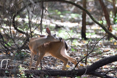 Shiloh Ranch Regional California deer.  The park includes oak woodlands, forests of mixed evergreens, ridges with sweeping views of the Santa Rosa Plain, canyons, rolling hills, a shaded creek, and a