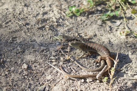 Shiloh Ranch Regional California lizard.  The park includes oak woodlands, forests of mixed evergreens, ridges with sweeping views of the Santa Rosa Plain, canyons, rolling hills, a shaded creek, and