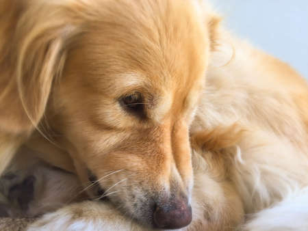 closeup: Cute Golden Retriever Stock Photo