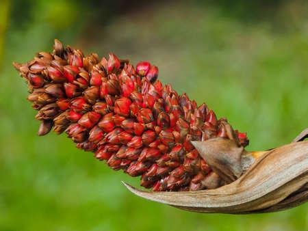 salak: Rakum Palm, Salak Palm, Salacca Wallichiana