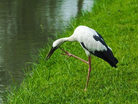 scratches: Stork Bird Scratches Face With Leg