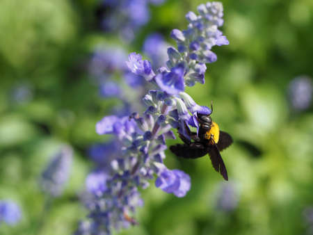 nectar: Bee Sucking Nectar From A Flower