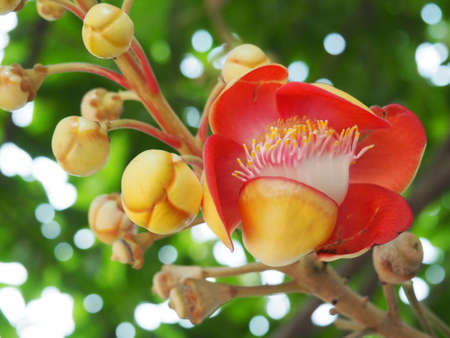 cannonball: Close Up Of Cannonball Tree Flower Blossom Stock Photo