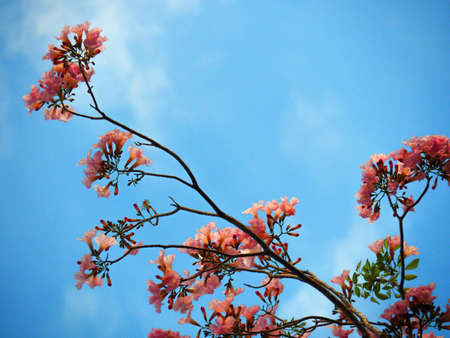 Pink Trumpet Tree (Tabebuia Rosea) Flower Blossom On Blue Sky Background
