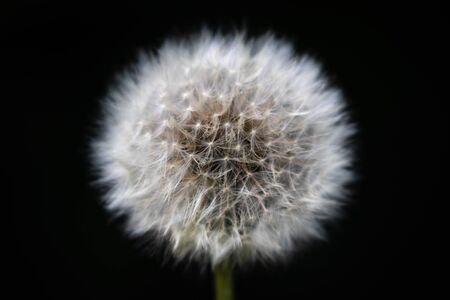 Macro front view of the blossom of mature Dandelion with seeds (Taraxacum Ruderalia) in front of black background Banco de Imagens