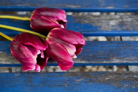 closeup of three purple tulips on a blue rustic wooden table photo