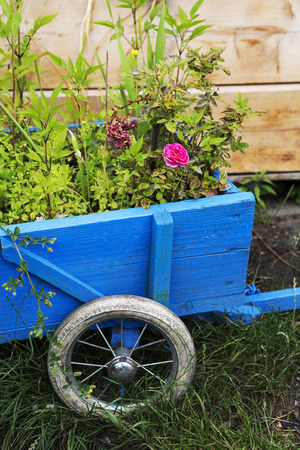 flowers in a blue wooden wheelbarrow Stock Photo