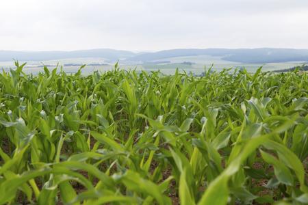 harvest field: closeup of a green cornfield in summer