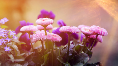pink and lilac flowers in a garden with sunlight